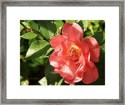 Rain-drops On Roses Framed Print by Charles Shedd