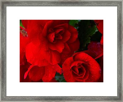Rain Kissed Roses Framed Print
