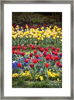 Framed Print featuring the photograph Rain On The Tulips by Cheryl Davis