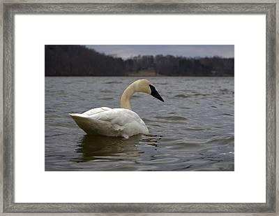 Rain Swan 2 Framed Print by Brian Stevens