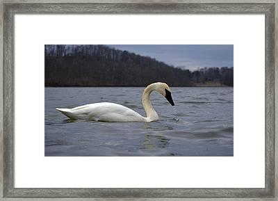 Rain Swan Framed Print by Brian Stevens
