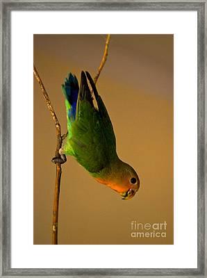 Rainbow Bird Framed Print by Syed Aqueel