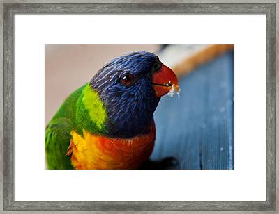 Framed Print featuring the photograph Rainbow Lorikeet by Carole Hinding