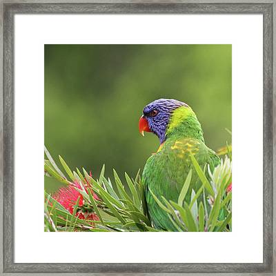 Rainbow Lorikeet Framed Print by Christina Port Photography