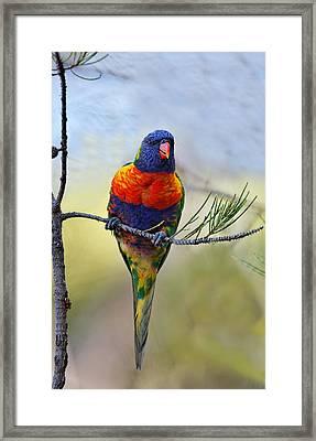 Framed Print featuring the photograph Rainbow Lorikeet by Paul Svensen