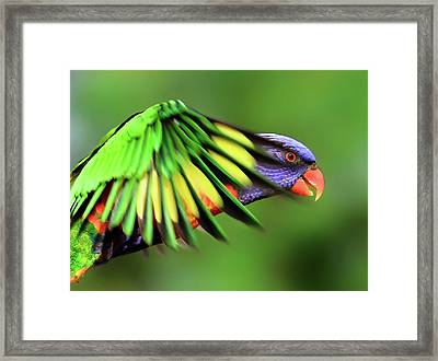 Rainbow Lorikeet Framed Print by Vanessa Mylett