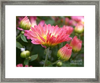 Rainbow Mums Framed Print by Living Color Photography Lorraine Lynch