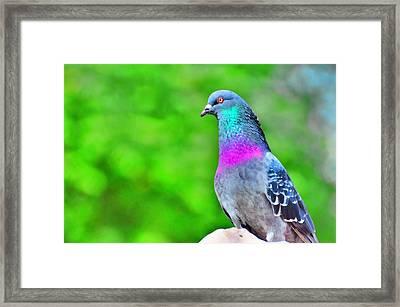 Rainbow Pigeon Framed Print