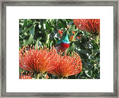 Rainbow Sunbird Framed Print