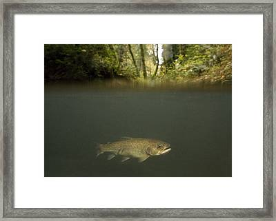 Rainbow Trout In Creek In Mixed Coast Framed Print by Sebastian Kennerknecht