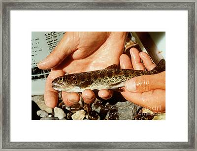 Rainbow Trout Framed Print by Science Source