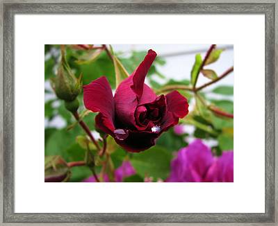 Raindrop Rose Framed Print