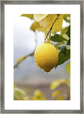 Raindrops Dripping From Lemons. Framed Print by Guido Mieth