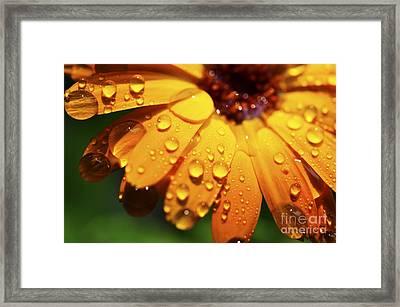 Raindrops On Daisy Framed Print by Thomas R Fletcher