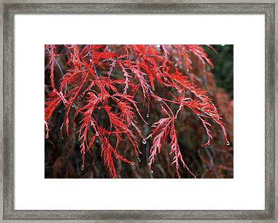 Raindrops On Maple Framed Print