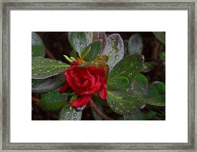 Rainy Day Rose Framed Print by Wide Awake Arts