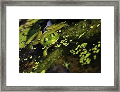 Rana Clamitans Or Green Frog Framed Print