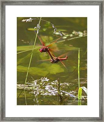 Randy Reds Framed Print by Tracey Levine