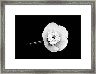 Ranunculus In Black And White Framed Print