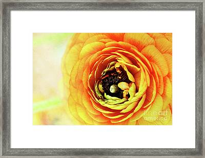 Ranunculus In Orange Framed Print by Stephanie Frey