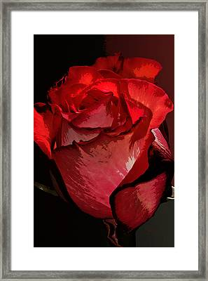 Rare Red Rose Framed Print