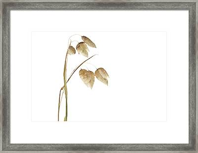 Rattlesnake Grass Number 2 Framed Print by Carol Leigh