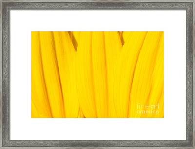 Rays Of Sunflower Framed Print by Luke Moore