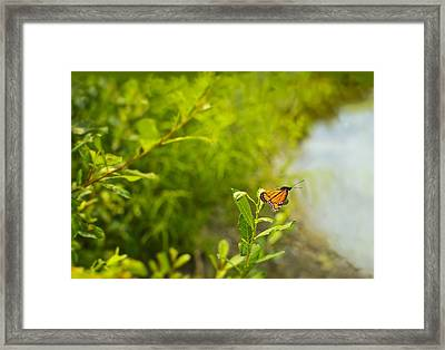 Ready Set Go Viceroy Butterfly Framed Print by Marianne Campolongo