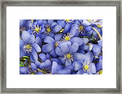 Real First European Springs Flowers Background Framed Print