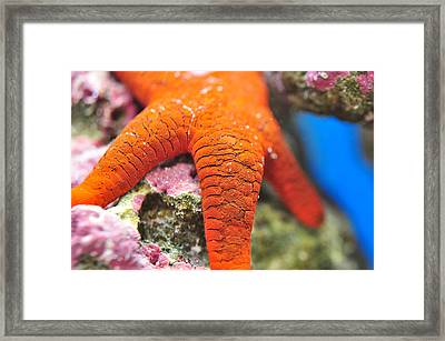 Framed Print featuring the photograph Red   Sea Star by Puzzles Shum