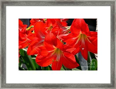 Red Amaryllis Flowers Framed Print