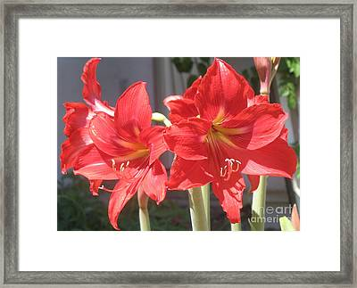 Red Amaryllis Framed Print by Kume Bryant