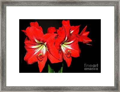 Red Amaryllis Twins Framed Print by Pravine Chester