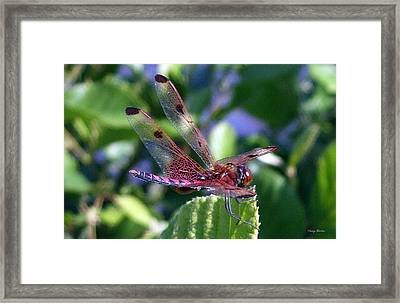 Framed Print featuring the photograph Red And Black Dragonfly by George Bostian