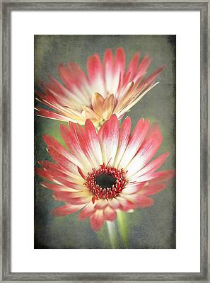 Red And Cream Gerbera Framed Print by Fiona Messenger