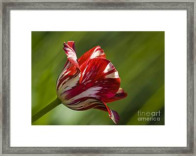 Red And White   Rouge Et Blanc Framed Print by Nicole  Cloutier Photographie Evolution Photography