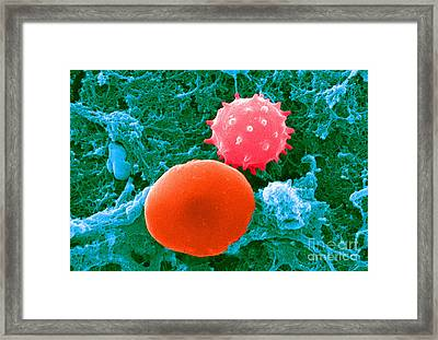 Red And White Blood Cells, Sem Framed Print by Science Source