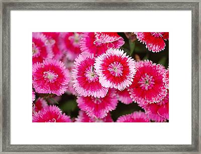 Framed Print featuring the photograph Red And White Fringed Bachelor Buttons by Peg Toliver