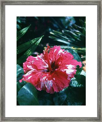 Framed Print featuring the photograph Red And White Hybiscus With Grasshopper by Craig Wood