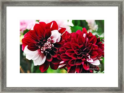 Red And White Variegated Dahlia Framed Print by Kaye Menner