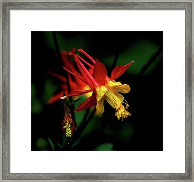 Red And Yellow Columbine Framed Print by John Brink