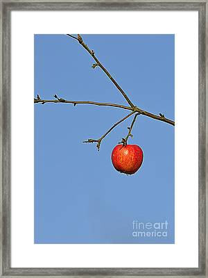 Red Apple Framed Print by Conny Sjostrom