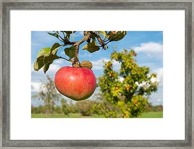 Red Apple On Branch Of Tree Framed Print by Matthias Hauser