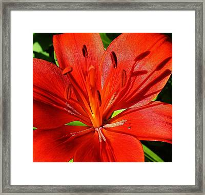 Red Asiatic Lily Framed Print by Bruce Bley