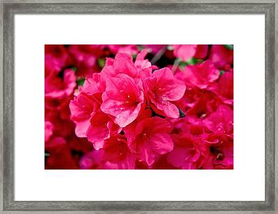 Red Azalea Framed Print