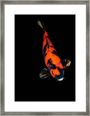 Red Bekko01 Framed Print