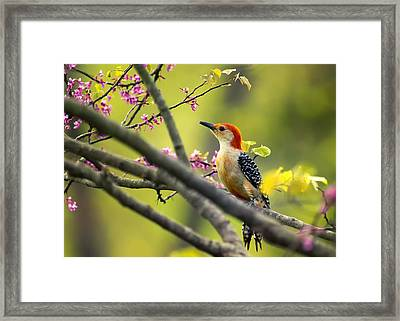 Red Bellied In Tree Framed Print by Bill Tiepelman