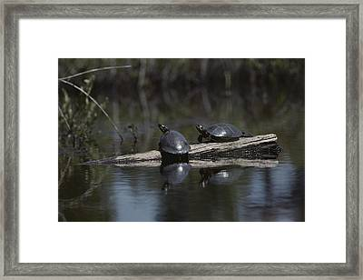 Red Bellied Turtles Sun On A Log Framed Print
