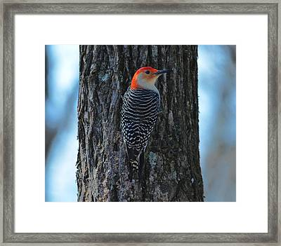 Framed Print featuring the photograph Red-bellied Woodpecker by Brian Stevens