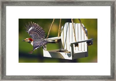 Red-bellied Woodpecker In Flight Framed Print by Bill Tiepelman